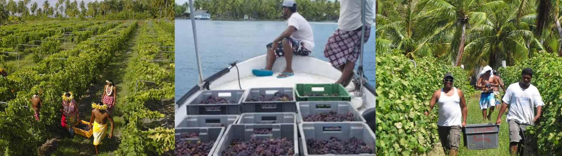 Vins de Tahiti sur l'Atoll de Rangiroa