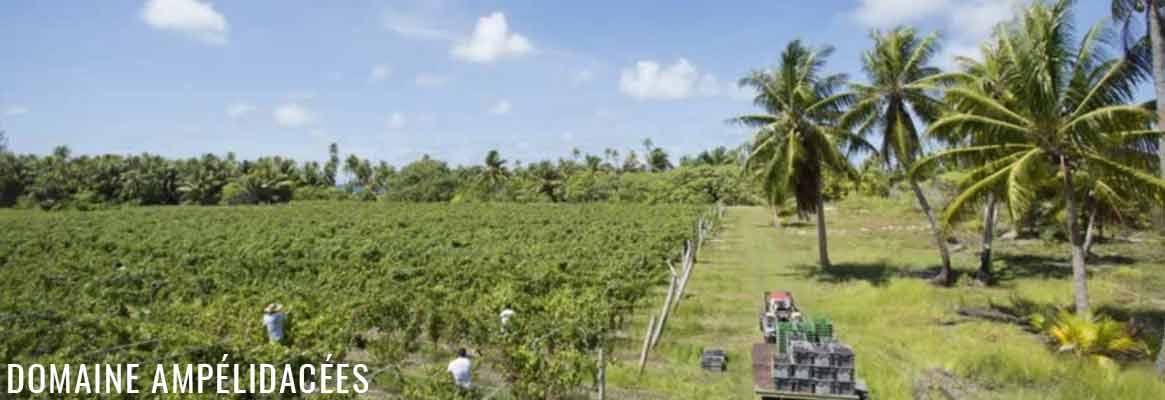 Domaine Ampélidacées, vins extraordinaires de Tahiti